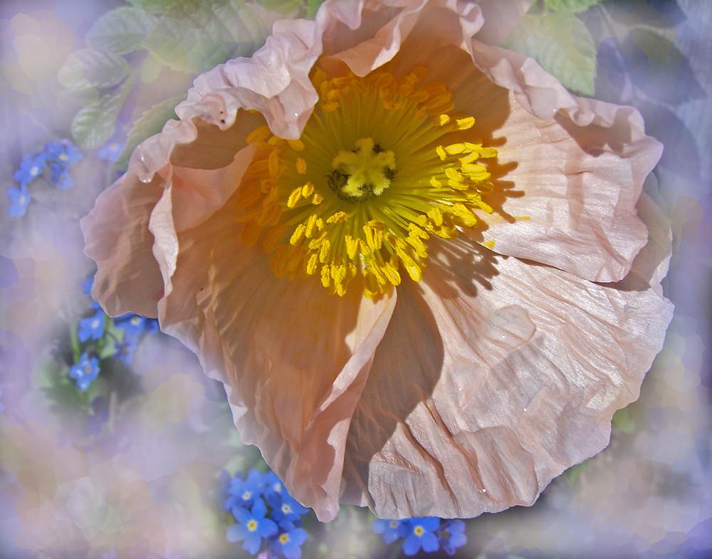 Myosotis et Pavot rose