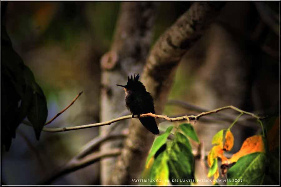 Mystérieux Colibri attendant sa belle