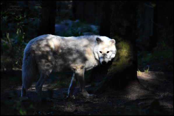 Mysterium Wolf ?!?!