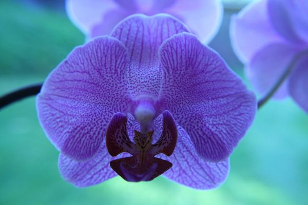 mystic orchid