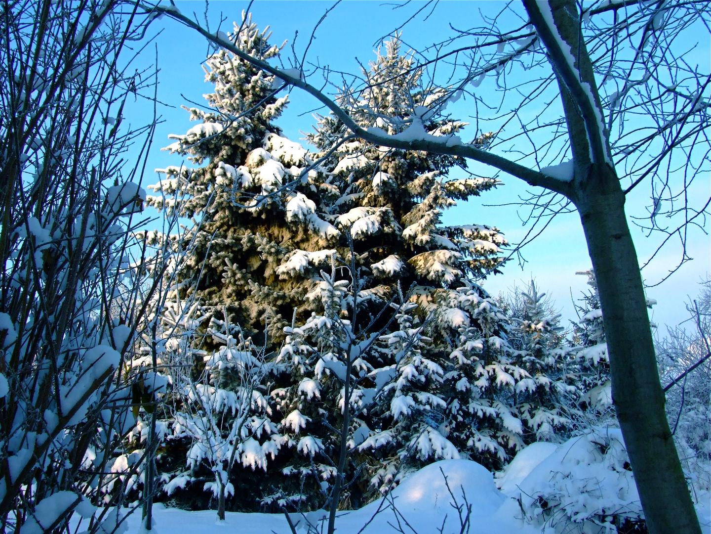 °°° Na aber so viele schöne Weihnachtsbäume im Garten, wo waren die denn vor dem Fest °°°