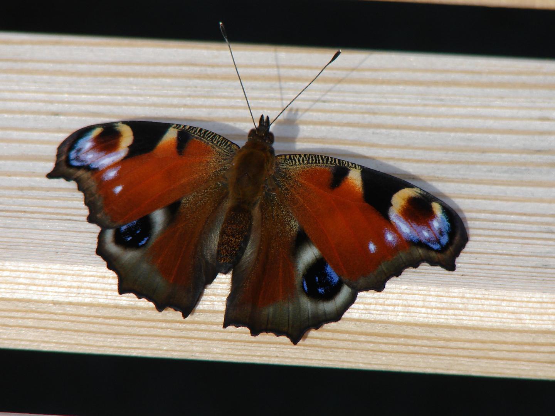 Na Das ist wohl nen Schmetterling
