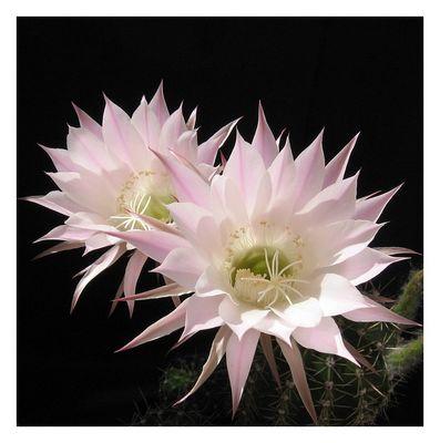 na klar - Echinopsisblüten