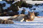 Nach dem Fressen soll Wolf ruhen....