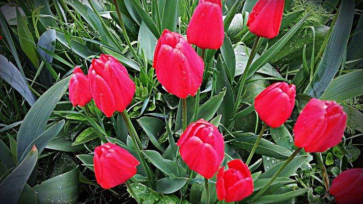 """Nach dem Regen: """"Frisch geduschte Tulpen"""""""