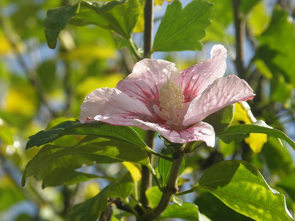 Nach Regen Hibiscus