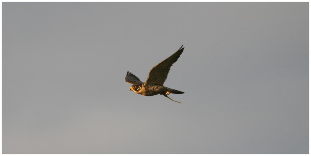 ... nach vielen Versuchen - Falke im Flug