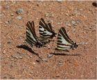 Nach Wasser suchende Schmetterlinge