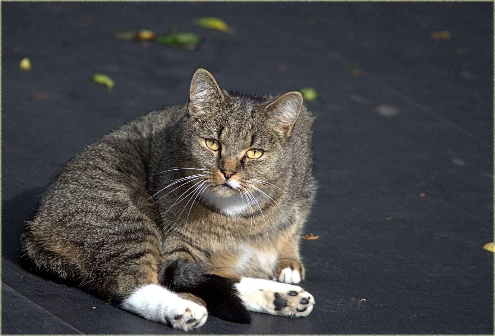 Nachbars Katze Tiger