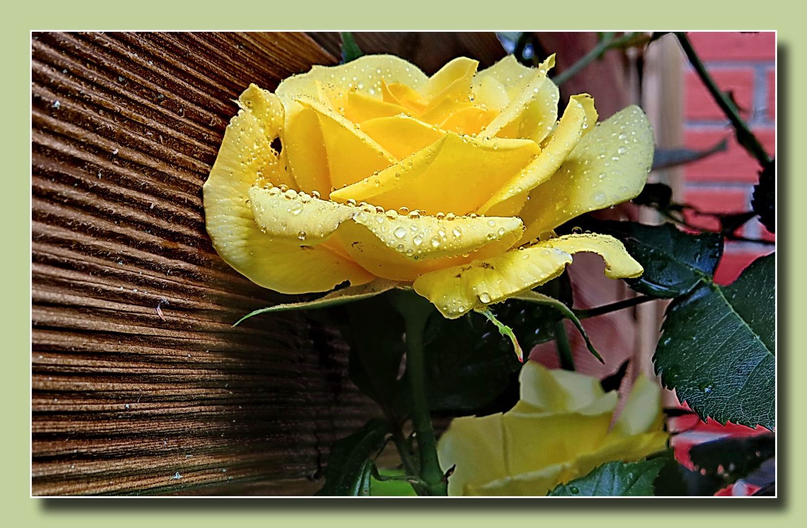 Nachbars neuer Gartenzaun - und für meinen gelben Rosentrauch wird's sehr eng,