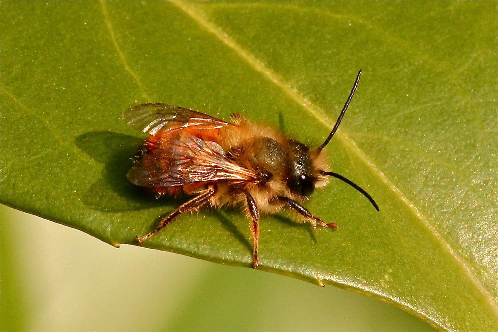 Nachdem heute die erste Wildbiene sich ins Badezimmer verflogen hatte, . . .