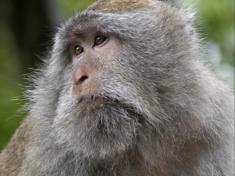 Nachdenklicher Affe