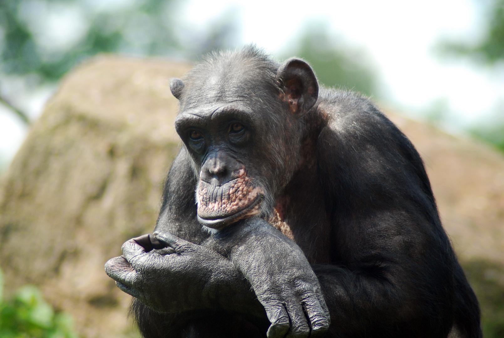 nachdenklicher Schimpanse