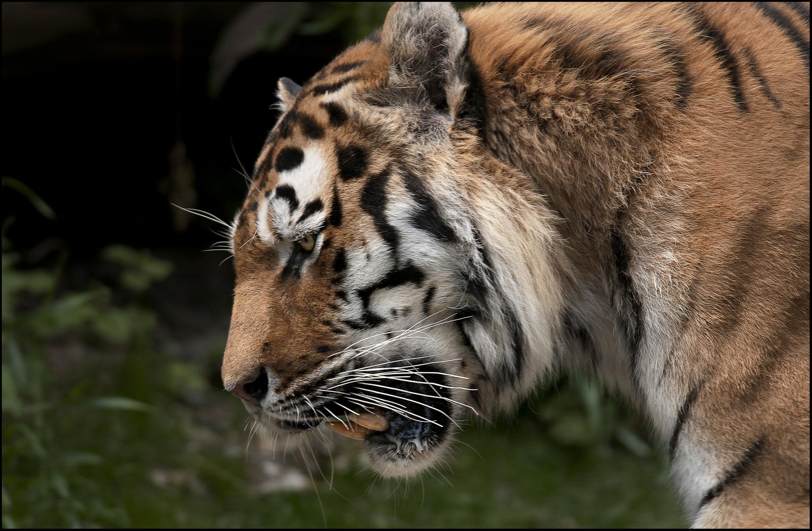 Nachdenklicher Tiger