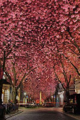 Nacht der Kirschblüte