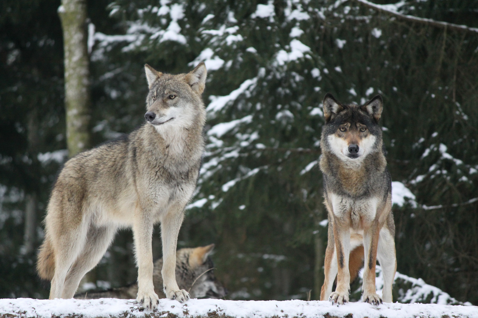 Nacht der Wolfe