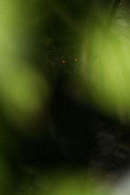nachtaktiver Lemur