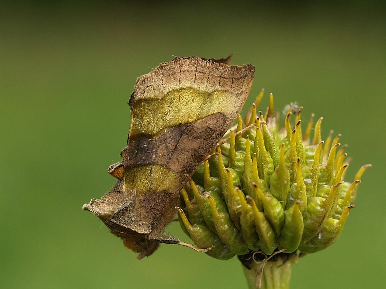 Nachtfalter-Diachrysia chrysitis