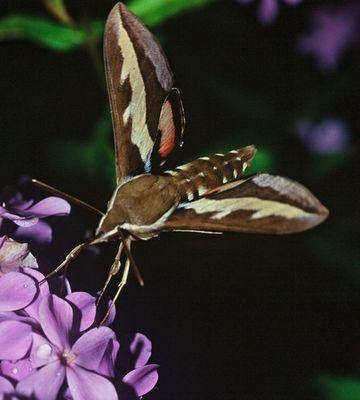 Nachtfalter - wie ein Kolibri...