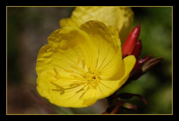 Nachtkerze - rote Knospe - gelbe Blüte
