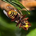 Nachtrag vom 8.9.2013: Hornisse mit den Resten einer erlegten Honigbiene