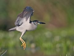 Nachtreiher / Night heron