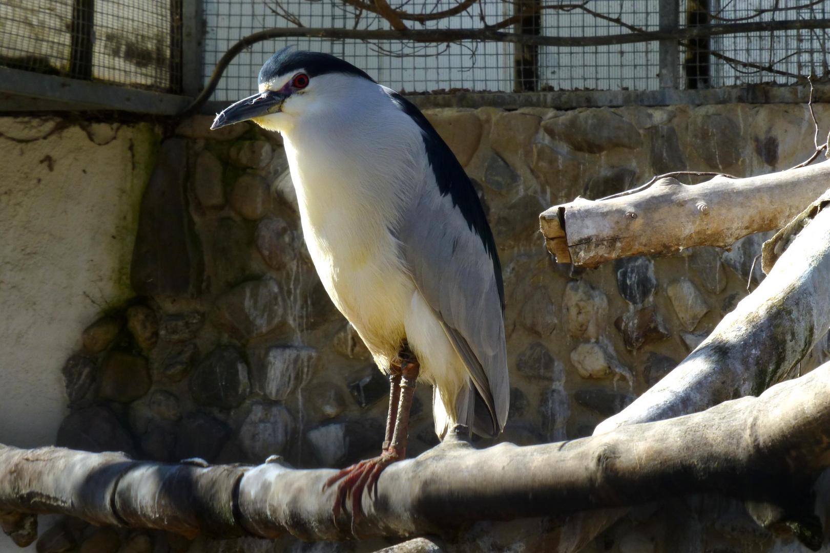 Nachtreiher (Zoo Neuwied)