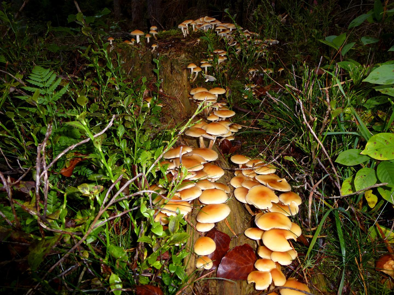 Nachtwanderung der Pilze