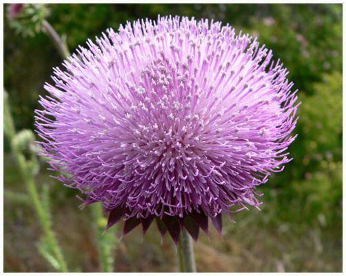 Nachwachsende Rohstoffe - Blütezeit