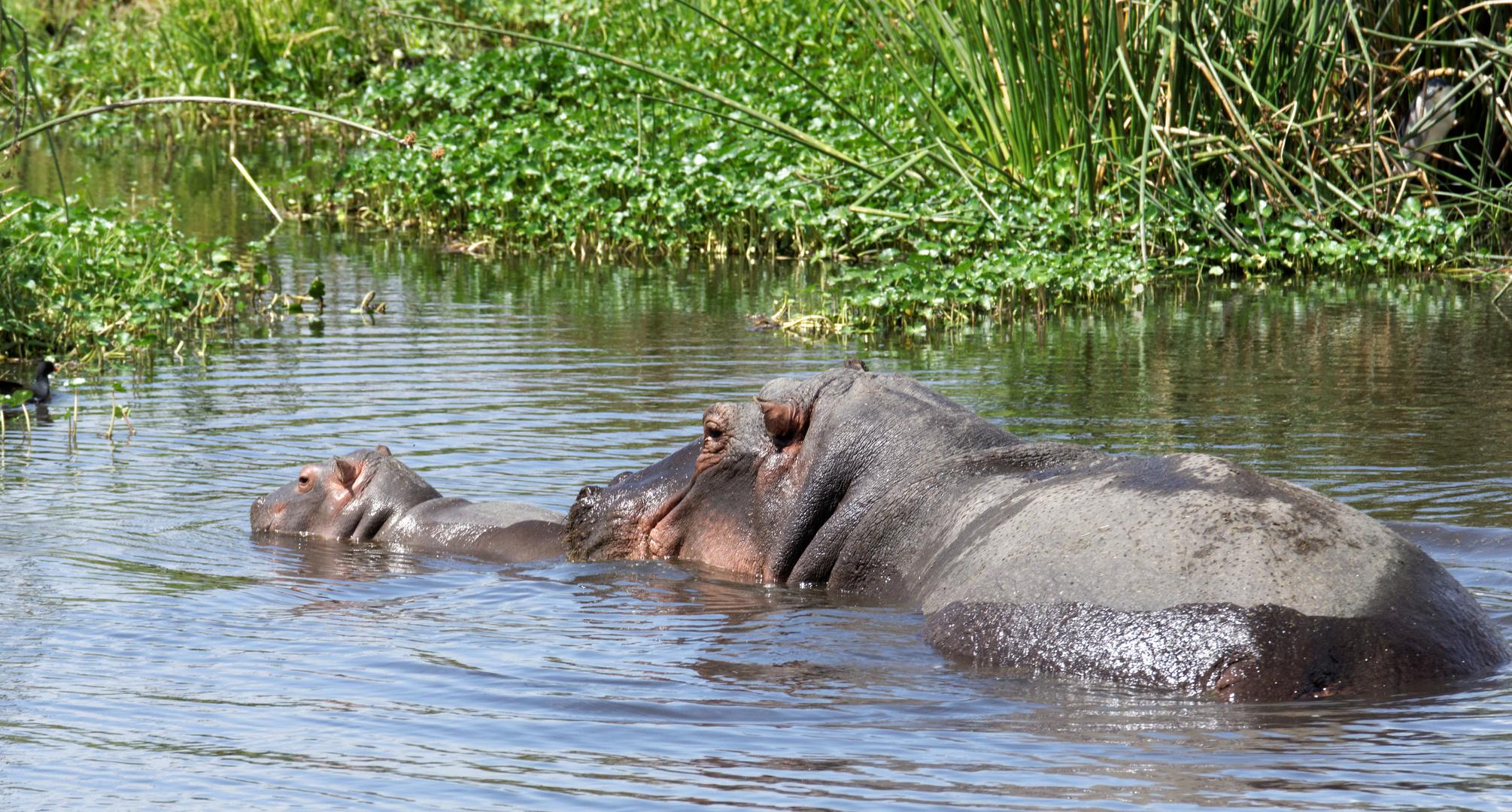 Nachwuchs bei den Hippos.
