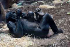 Nachwuchs der Bonobos Zwergschimpansen im Borgori - Wald #2