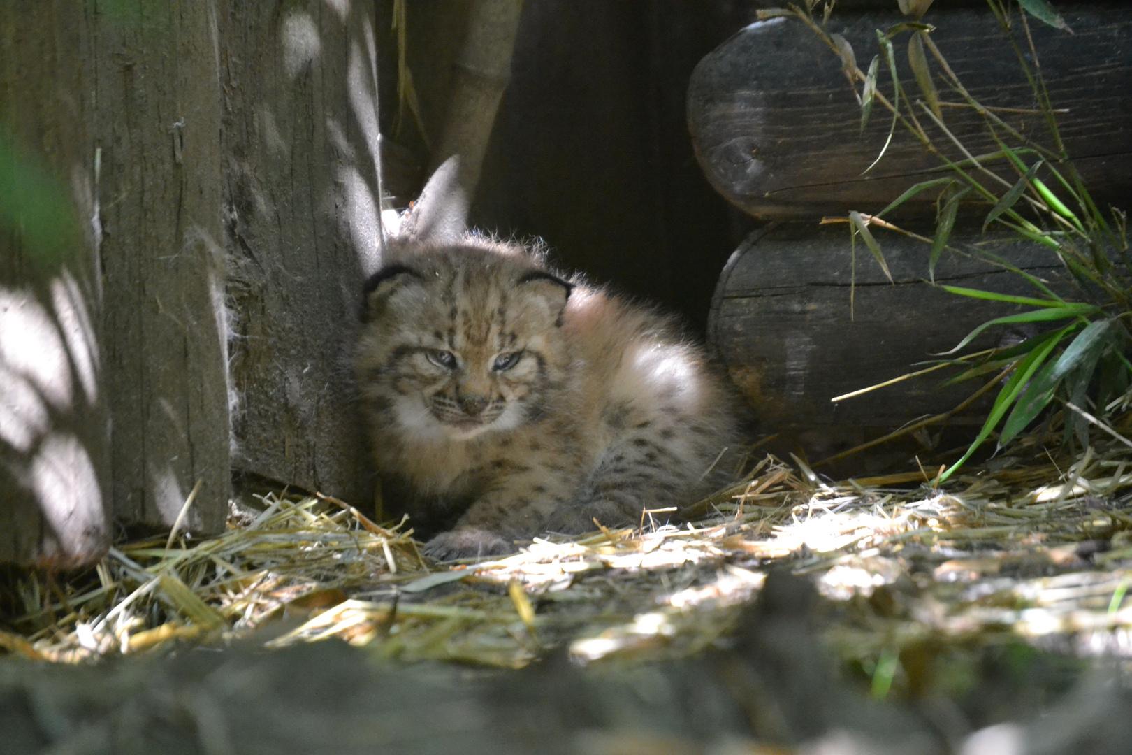 Nachwuchs im Zoo Karlsruhe - Luchsbaby ´s Teil 1