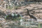Nacktkehlreiher (Tigrisoma mexicanum), in der Nähe von La Cruz, Costa Rica