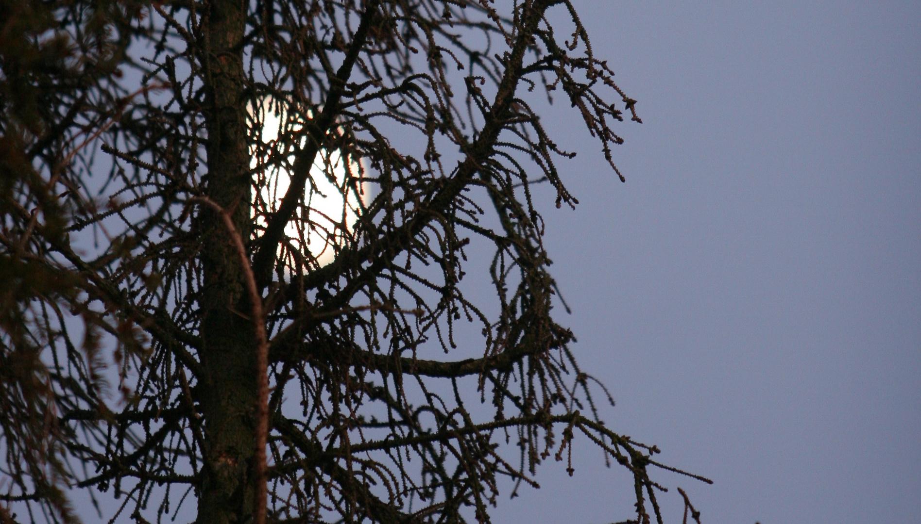 Nadelbaum - jedenfalls war es mal einer