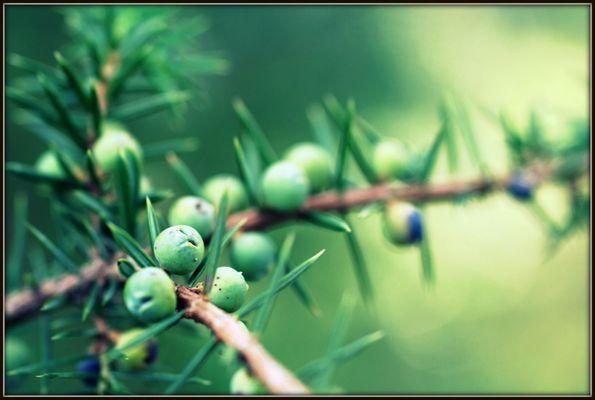 Nadelbaumfrüchte