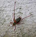 Nadelholz-Säbelschrecke (Barbitistes constrictus) Männchen