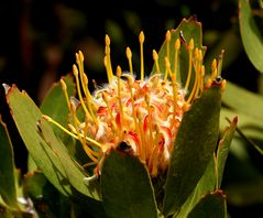 Nadelkissen - Protea