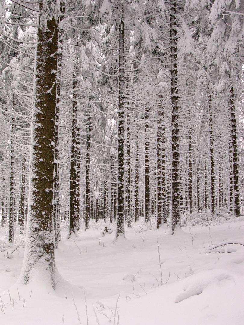 Nadelwald am Kahlen Asten