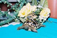 Nadine Turtle