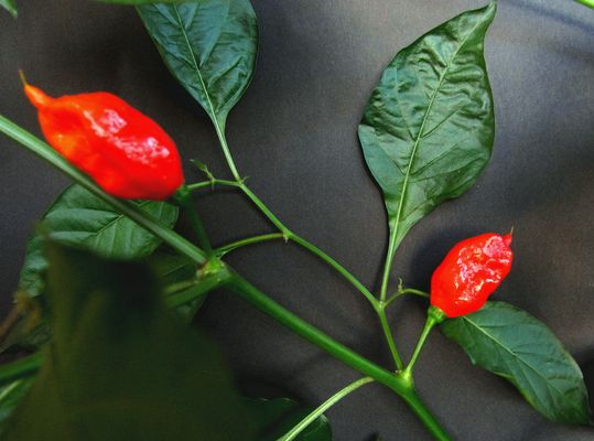 Nagamorich - world's hottest chilli pepper 1