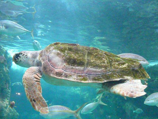 Nage tranquille de la tortue.