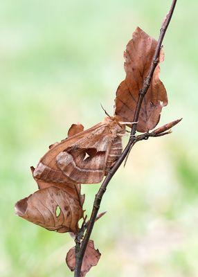 Nagelfleck - Weibchen