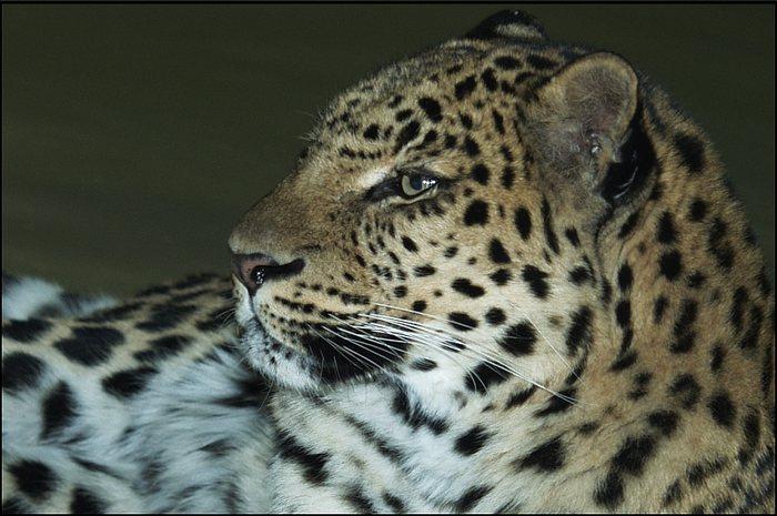 Nahaufnahme Amur-Leopard