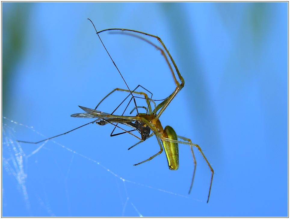 Nahrungsaufnahme einer Spinne