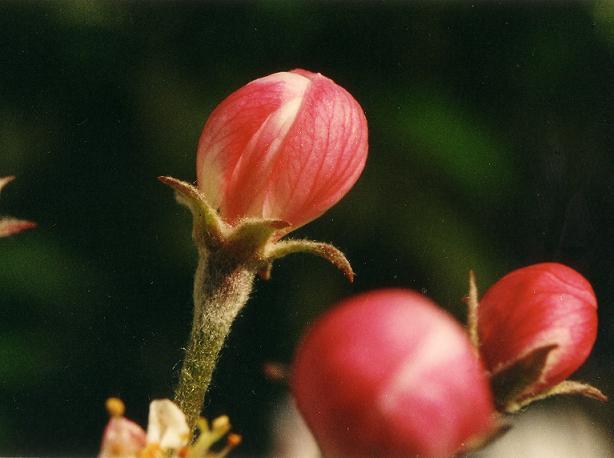 Naissance de Pomme