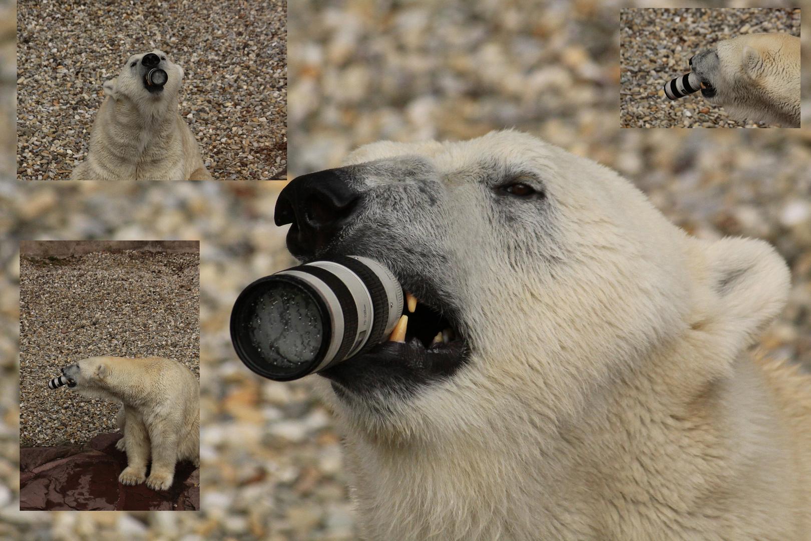 Name...Eisbär, Beruf...Fotograf