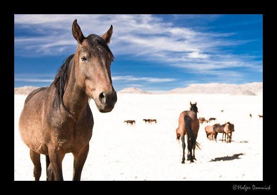 Namib-Pferde