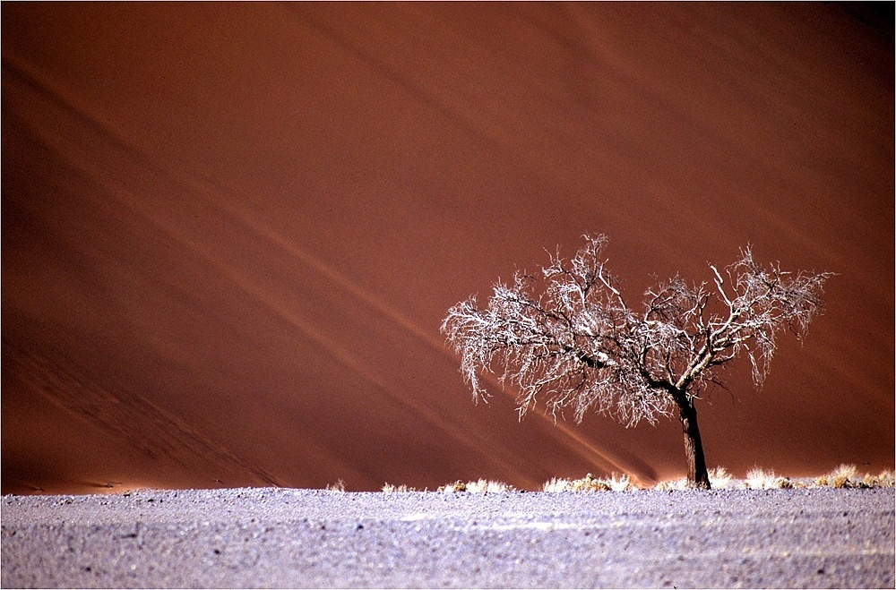 namib-tree