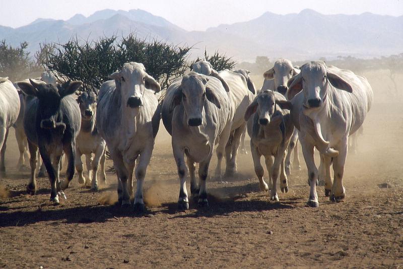 Namibia: Aus dem Weg! Viehherde unterwegs!
