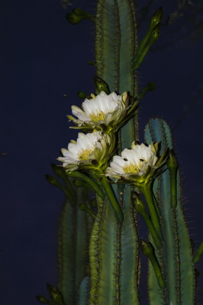 Namibia - Blüten am Säulenkaktus
